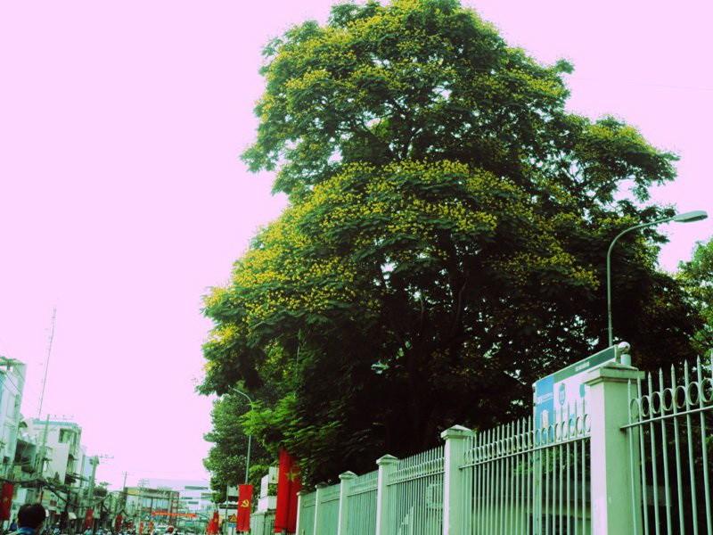 Sài Gòn đẹp nao lòng mùa hoa điệp - ảnh 3