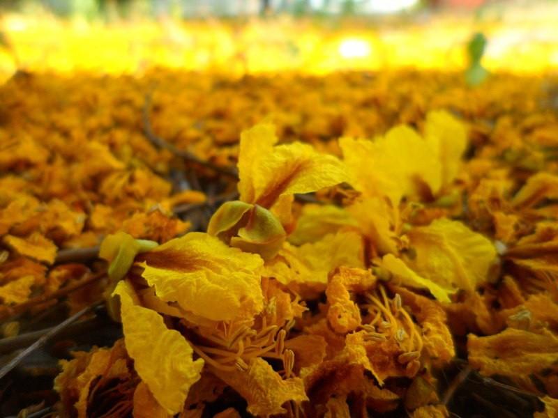 Sài Gòn đẹp nao lòng mùa hoa điệp - ảnh 4