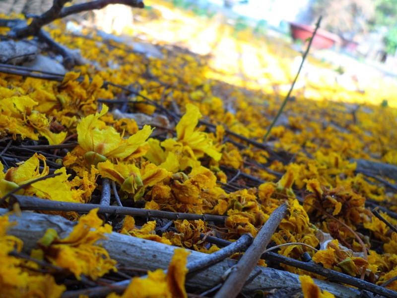 Sài Gòn đẹp nao lòng mùa hoa điệp - ảnh 5