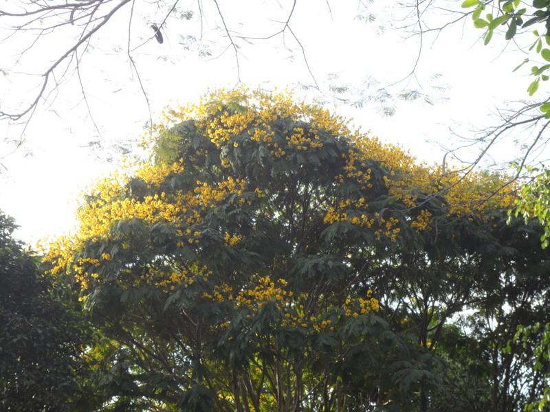 Sài Gòn đẹp nao lòng mùa hoa điệp - ảnh 6