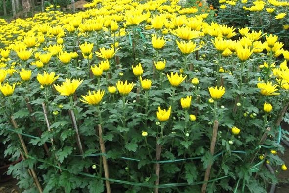 Ý nghĩa của 10 loại hoa, cây cảnh thường trưng dịp Tết - ảnh 11