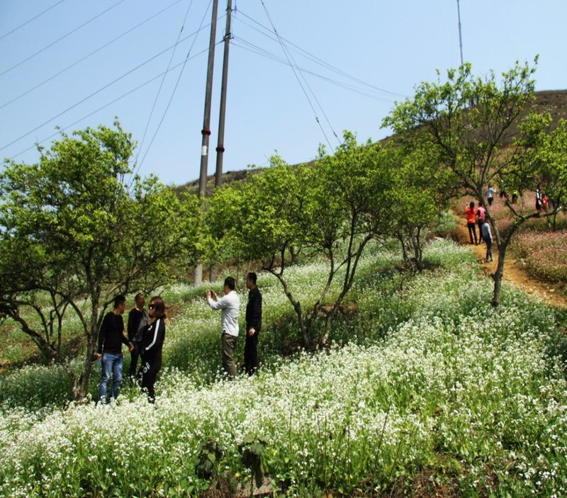 Bên cạnh hoa tam giác mạch là những vườn hoa cải trắng tinh khiết