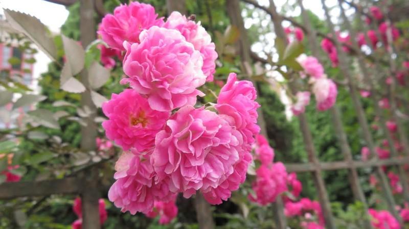 Ngắm vẻ đẹp kiêu sa, khó cưỡng của hồng leo Sa Pa - ảnh 3