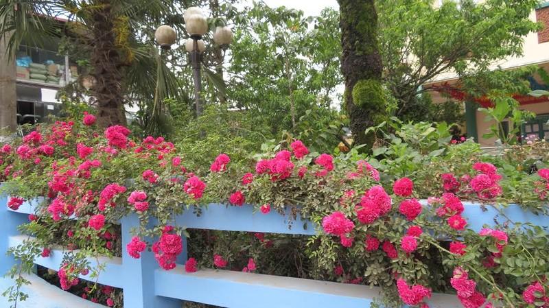 Ngắm vẻ đẹp kiêu sa, khó cưỡng của hồng leo Sa Pa - ảnh 7