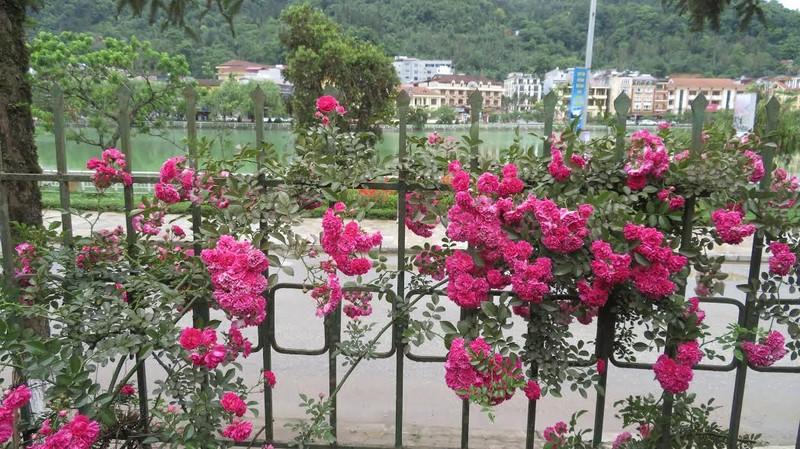 Ngắm vẻ đẹp kiêu sa, khó cưỡng của hồng leo Sa Pa - ảnh 6