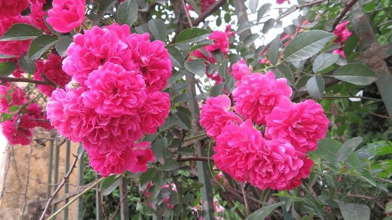 Ngắm vẻ đẹp kiêu sa, khó cưỡng của hồng leo Sa Pa - ảnh 5