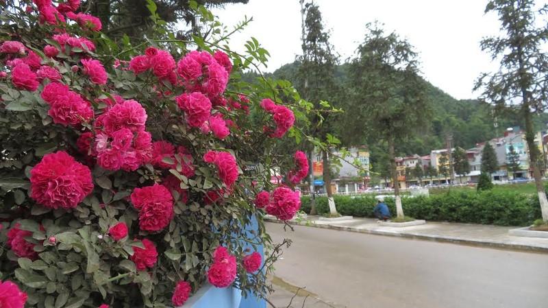 Ngắm vẻ đẹp kiêu sa, khó cưỡng của hồng leo Sa Pa - ảnh 8