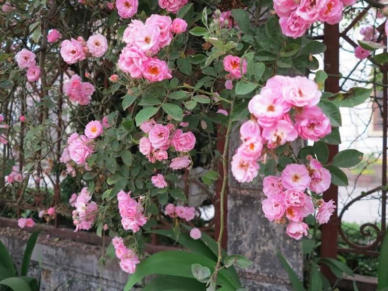 Ngắm vẻ đẹp kiêu sa, khó cưỡng của hồng leo Sa Pa - ảnh 4