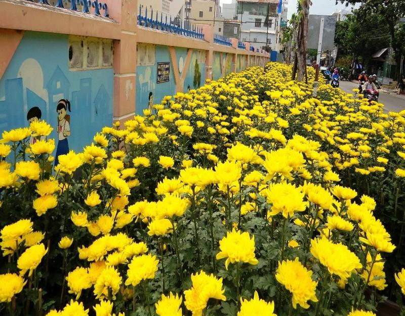 Hoa cúc đại đóa vàng rực rỡ một đoạn phố.