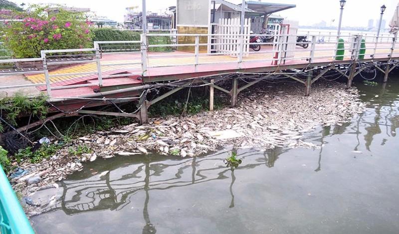 cá hồ tây chết