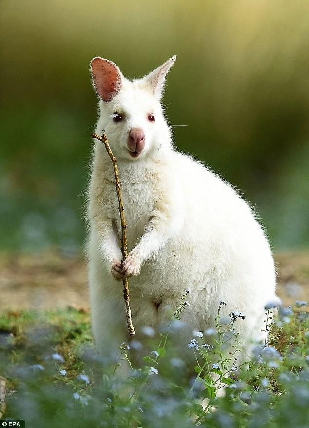 Chiêm ngưỡng chuột túi bạch tạng đẹp như trong cổ tích - ảnh 5