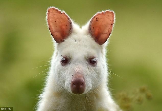 Chiêm ngưỡng chuột túi bạch tạng đẹp như trong cổ tích - ảnh 4