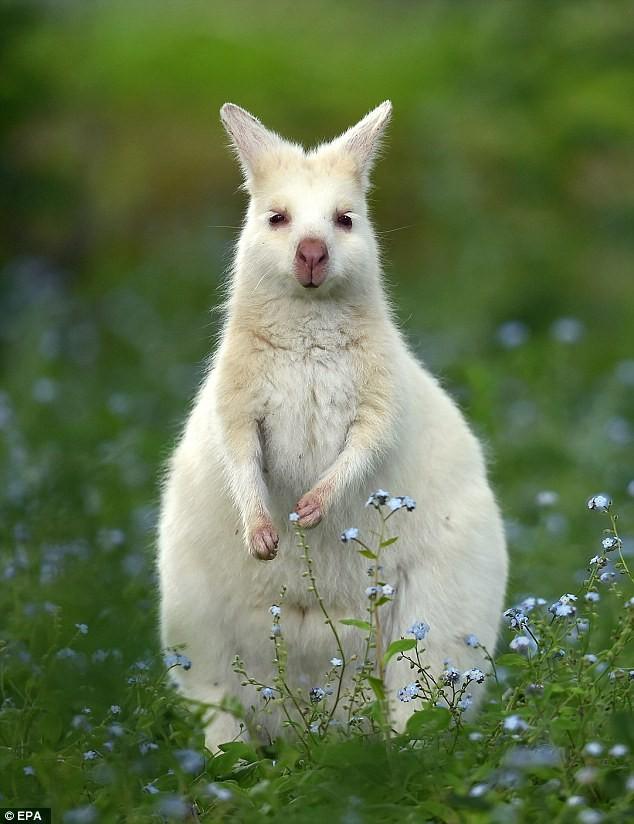 Chiêm ngưỡng chuột túi bạch tạng đẹp như trong cổ tích - ảnh 1