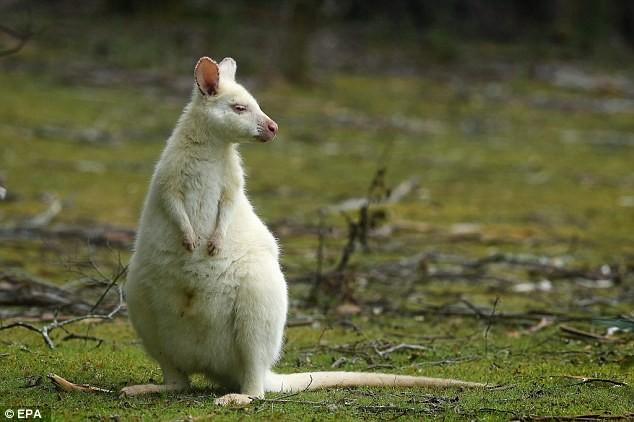Chiêm ngưỡng chuột túi bạch tạng đẹp như trong cổ tích - ảnh 6