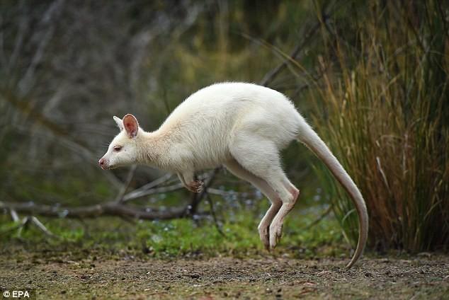 Chiêm ngưỡng chuột túi bạch tạng đẹp như trong cổ tích - ảnh 7