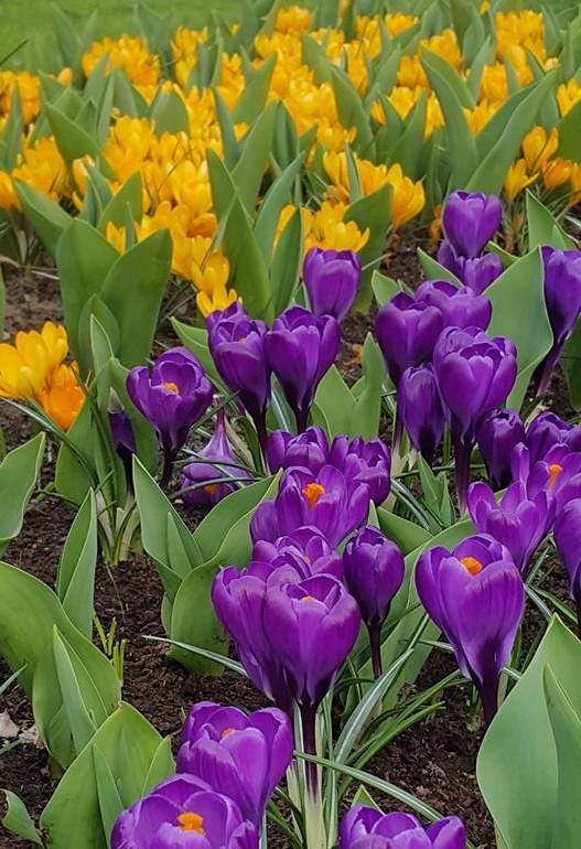 Ngắm 800 loài tulip rực rỡ tại hội hoa Keukenhof - ảnh 10