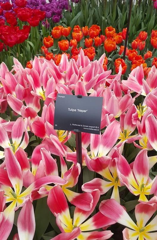 Ngắm 800 loài tulip rực rỡ tại hội hoa Keukenhof - ảnh 12