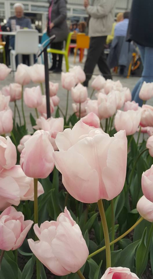 Ngắm 800 loài tulip rực rỡ tại hội hoa Keukenhof - ảnh 13