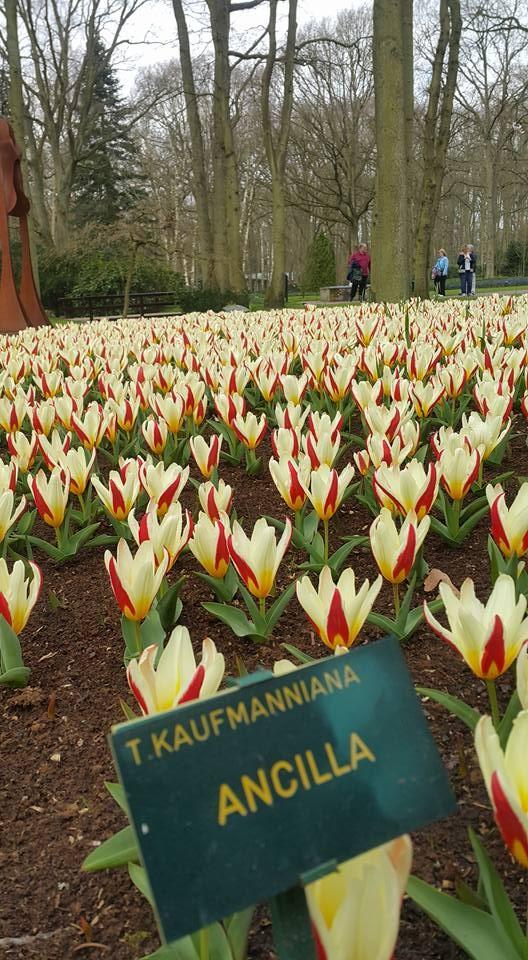 Ngắm 800 loài tulip rực rỡ tại hội hoa Keukenhof - ảnh 2