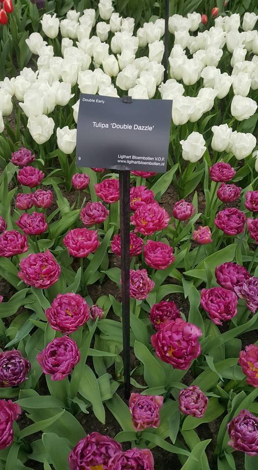 Ngắm 800 loài tulip rực rỡ tại hội hoa Keukenhof - ảnh 3