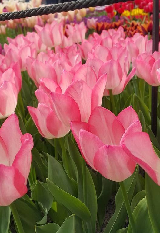 Ngắm 800 loài tulip rực rỡ tại hội hoa Keukenhof - ảnh 5