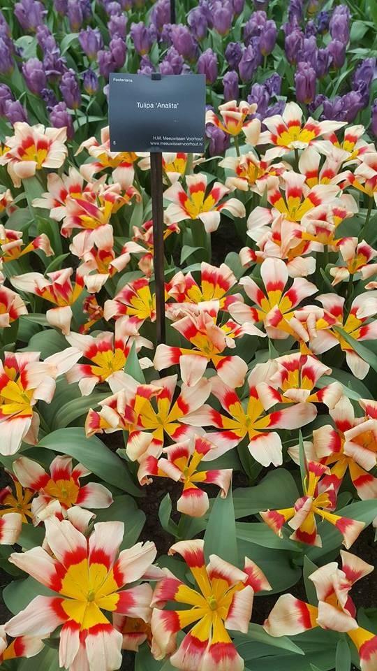 Ngắm 800 loài tulip rực rỡ tại hội hoa Keukenhof - ảnh 17
