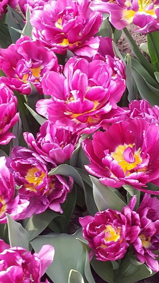 Ngắm 800 loài tulip rực rỡ tại hội hoa Keukenhof - ảnh 19