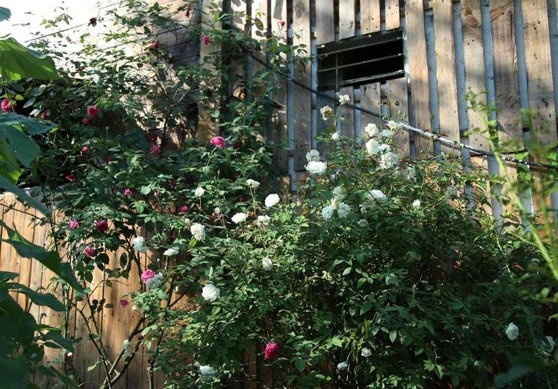 Ngắm khu vườn đẹp như mơ với hơn 100 loài hoa hồng - ảnh 3