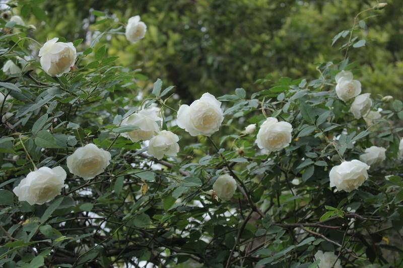 Ngắm khu vườn đẹp như mơ với hơn 100 loài hoa hồng - ảnh 1