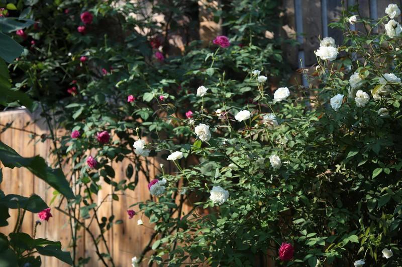 Ngắm khu vườn đẹp như mơ với hơn 100 loài hoa hồng - ảnh 4