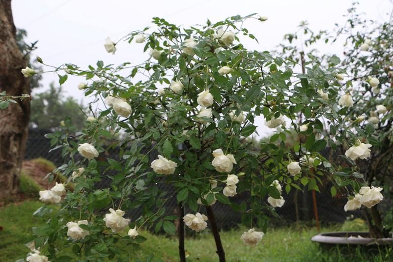 Ngắm khu vườn đẹp như mơ với hơn 100 loài hoa hồng - ảnh 2