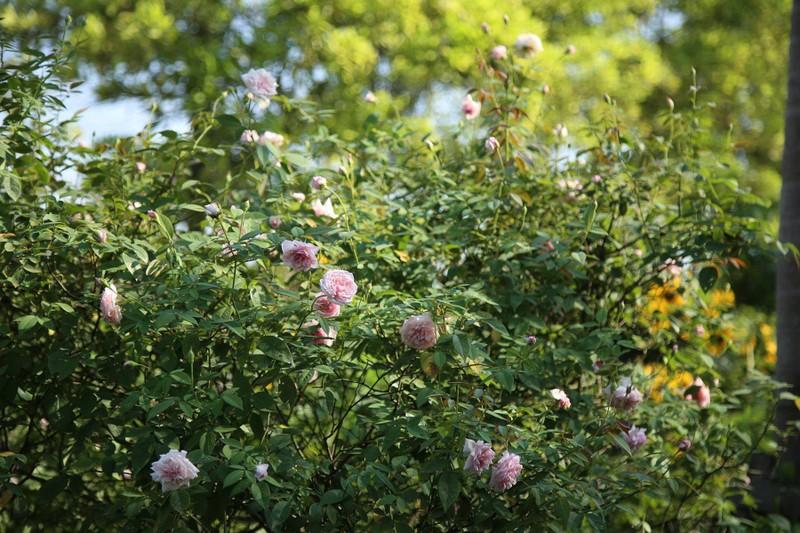 Ngắm khu vườn đẹp như mơ với hơn 100 loài hoa hồng - ảnh 8