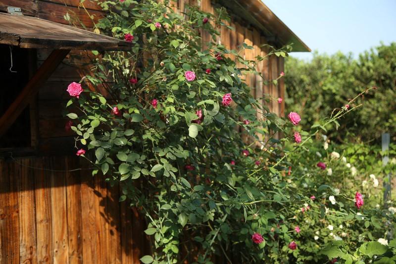 Ngắm khu vườn đẹp như mơ với hơn 100 loài hoa hồng - ảnh 10