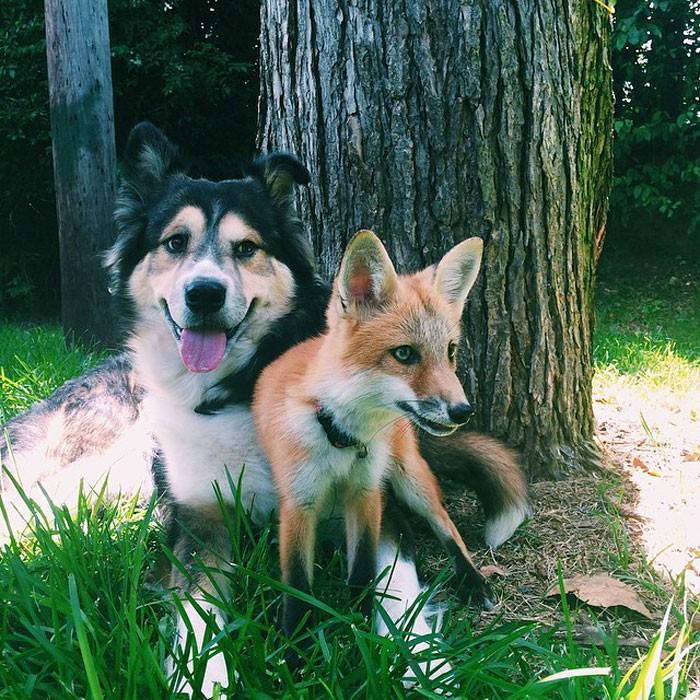 Tình yêu kỳ lạ của cáo và chó - ảnh 4