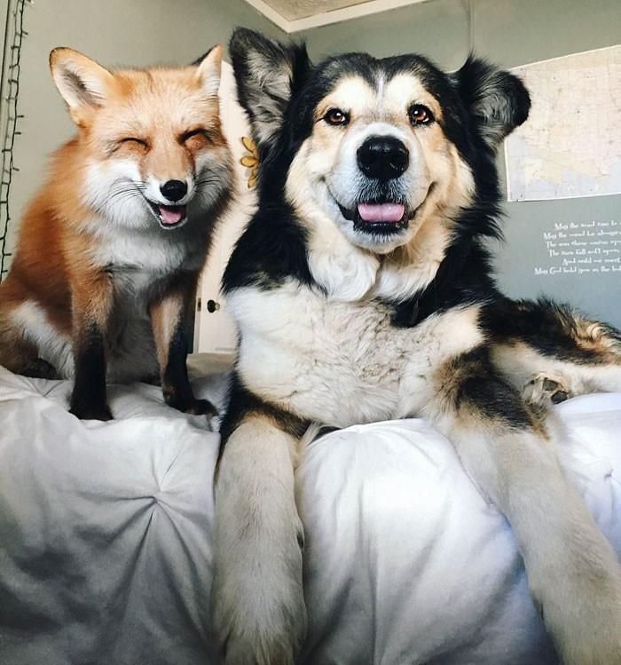 Tình yêu kỳ lạ của cáo và chó - ảnh 1