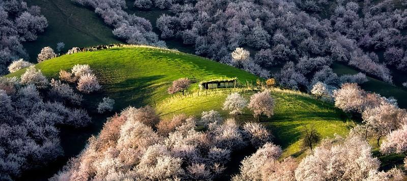 Sững sờ ngắm thung lũng hoa mơ đẹp như tiên cảnh - ảnh 1