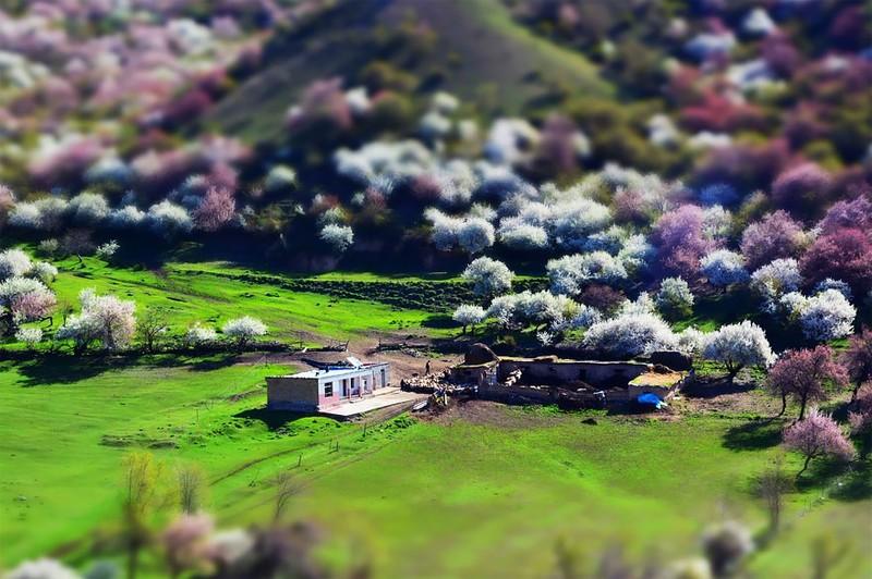 Sững sờ ngắm thung lũng hoa mơ đẹp như tiên cảnh - ảnh 2