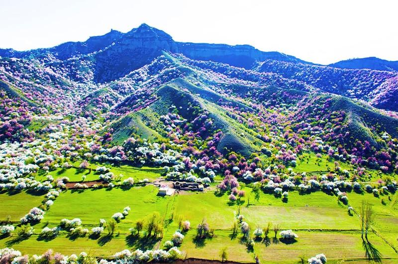 Sững sờ ngắm thung lũng hoa mơ đẹp như tiên cảnh - ảnh 4