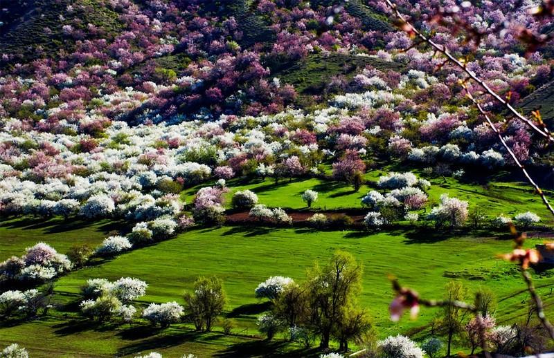 Sững sờ ngắm thung lũng hoa mơ đẹp như tiên cảnh - ảnh 13