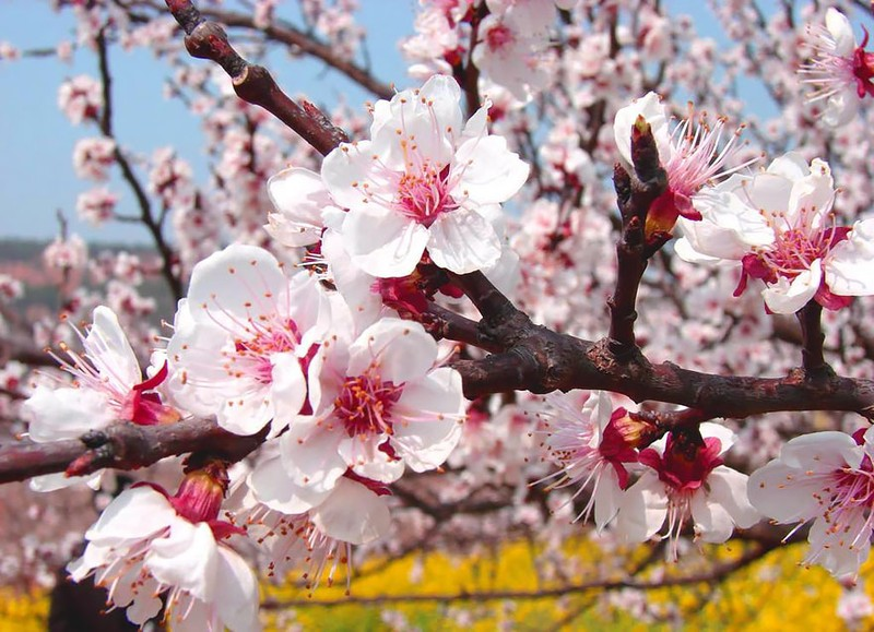 Sững sờ ngắm thung lũng hoa mơ đẹp như tiên cảnh - ảnh 5