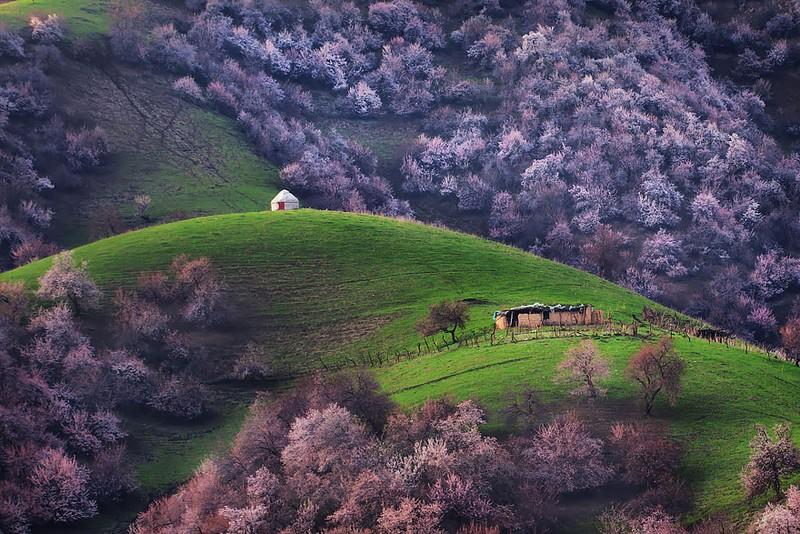 Sững sờ ngắm thung lũng hoa mơ đẹp như tiên cảnh - ảnh 6