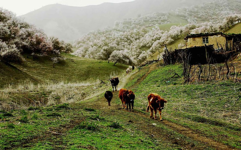 Sững sờ ngắm thung lũng hoa mơ đẹp như tiên cảnh - ảnh 7