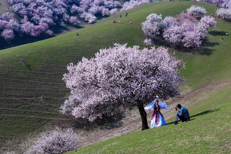 Sững sờ ngắm thung lũng hoa mơ đẹp như tiên cảnh - ảnh 8
