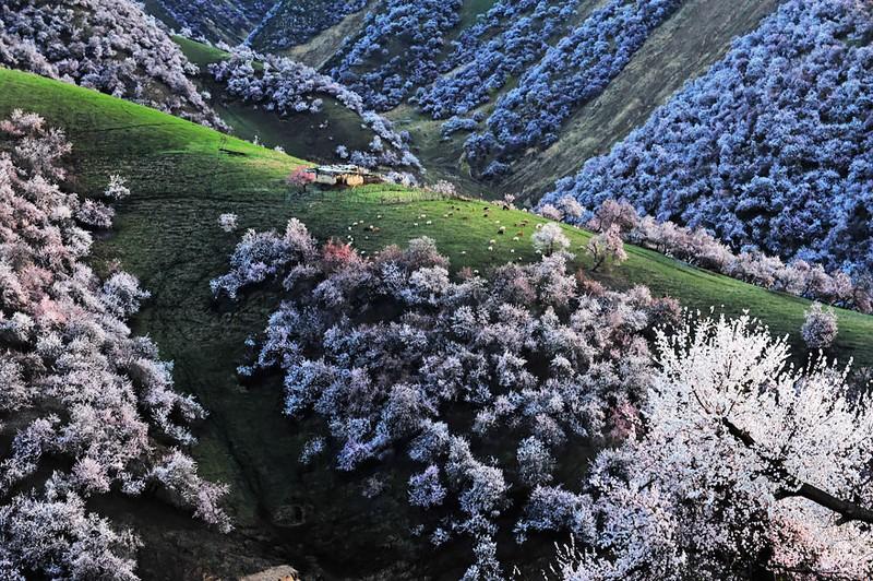 Sững sờ ngắm thung lũng hoa mơ đẹp như tiên cảnh - ảnh 9