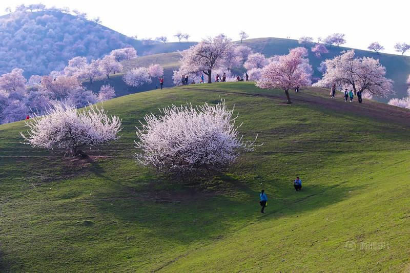 Sững sờ ngắm thung lũng hoa mơ đẹp như tiên cảnh - ảnh 10