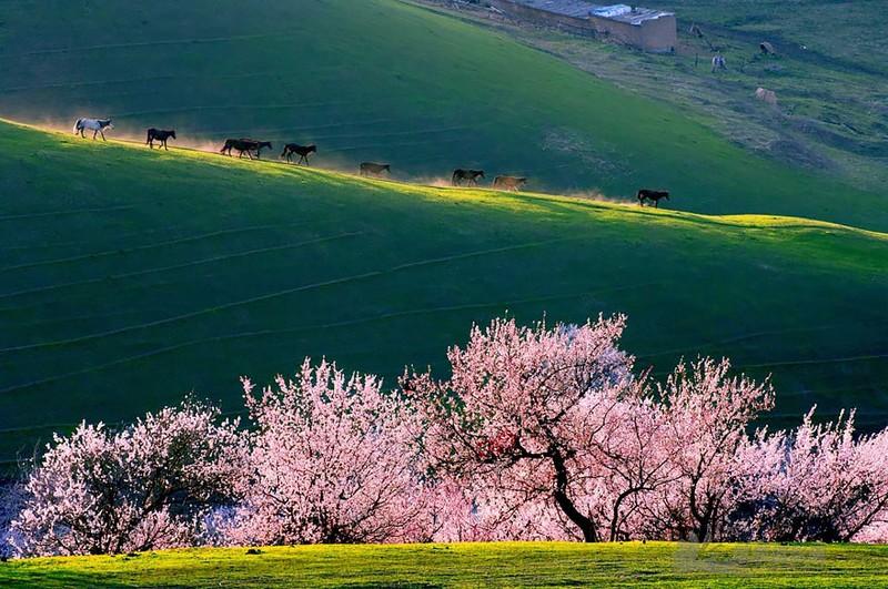 Sững sờ ngắm thung lũng hoa mơ đẹp như tiên cảnh - ảnh 11