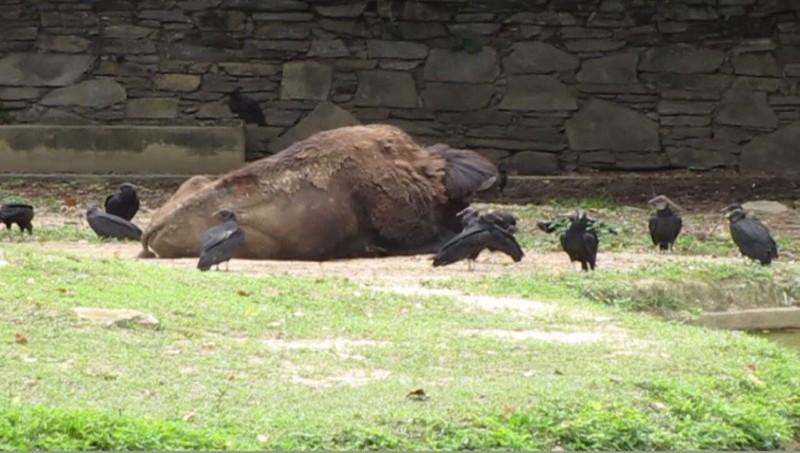 Ảnh: Động vật ở vườn thú Venezuela đói còn 'da bọc xương' - ảnh 7