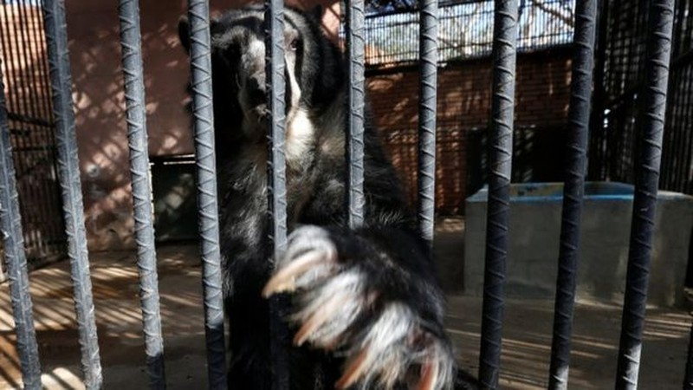 Những con gấu bị giảm một nửa khẩu phần ăn hàng ngày.