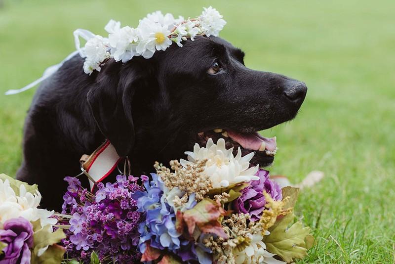 Chú chó gắng gượng dự đám cưới chủ trước khi qua đời - ảnh 2