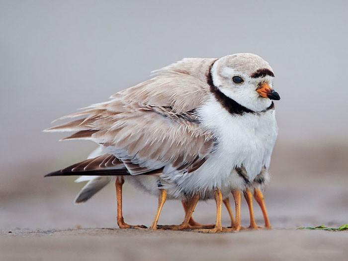 Muôn kiểu bảo bọc con của các loài chim trên thế giới - ảnh 8